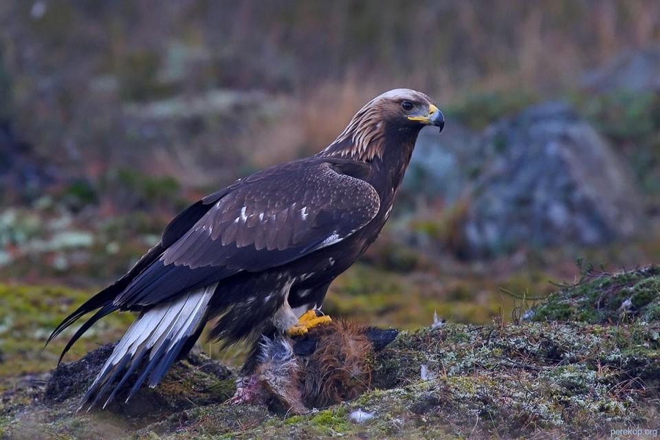 орел-символ-2019-года